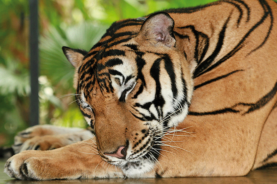 tigrecolibri
